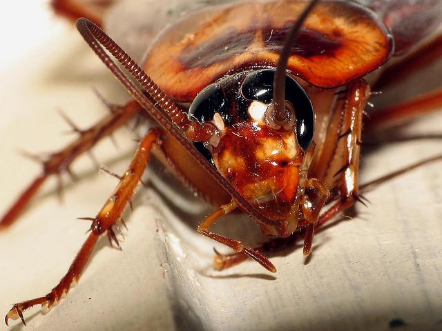 Las  cucarachas proliferan en agosto por las altas temperaturas y la humedad