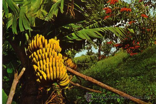 El peligro de las plagas que amenazan los cultivos de plátano