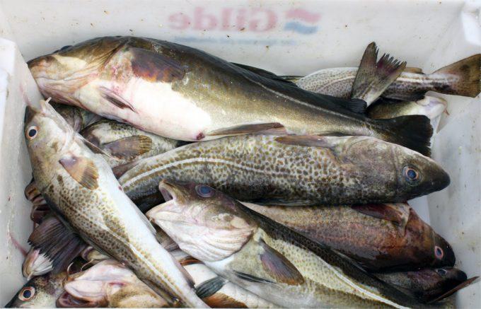 Pesca industrial de bacalao