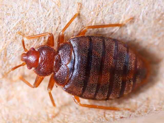 Las chinches de la cama pueden transmitir la enfermedad de Chagas