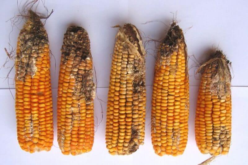 Las micotoxinas tricotecénicas, un problema de seguridad alimentaria