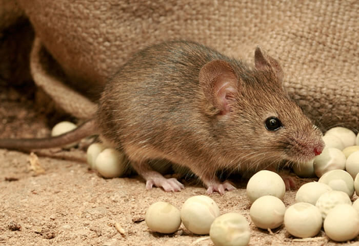 Cerrar el paso a  ratones y ratas domésticas: la exclusión como estrategia segura y eficiente