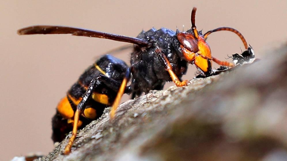 Así es la avispa velutina o asiática, el insecto que ha hecho saltar las alarmas en Galicia