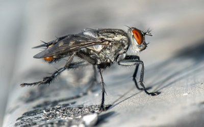 Control de la mosca común: pasado, presente y futuro