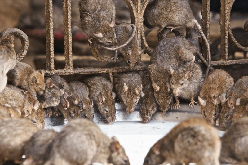 Todo lo que necesitas saber de una plaga de ratas