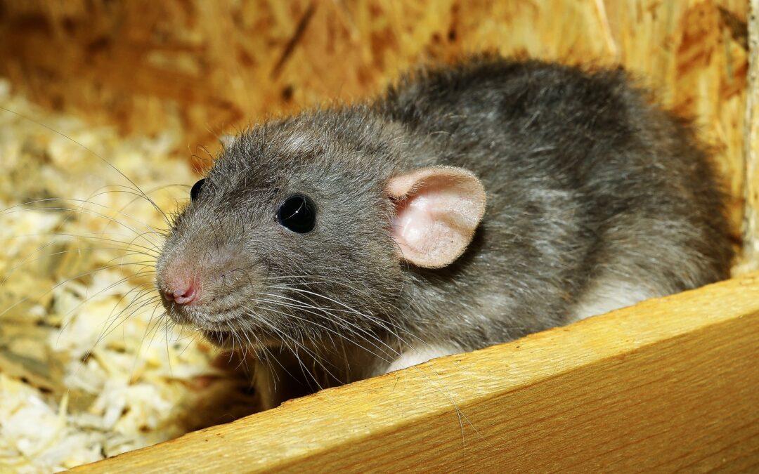 Todo lo que se necesita saber sobre una plaga de RATAS